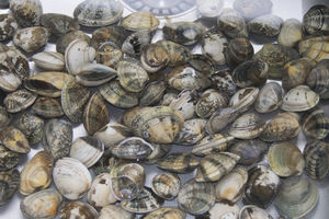 Striped Venus shell clams